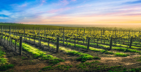 Wall Mural - Vineyard Glory