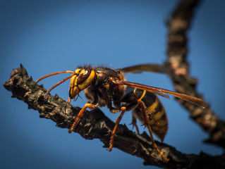 Striped giant hornet on a branch on a blue background