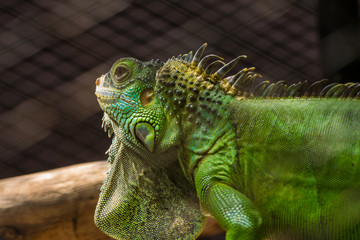 Iguana in the cage.