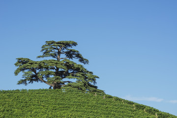 Cedar tree of Lebanon. A secular tree, symbol of la Morra