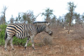 Zebra Kruger National Park, South Africa