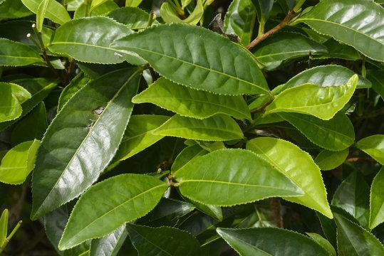 Thé, théier, Camellia sinensis, Ile de Mahé, Iles Seychelles