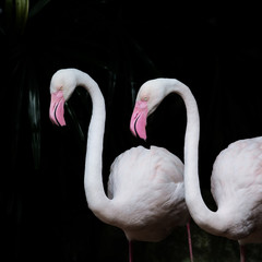 GREATER FLAMINGO,  Greater Flamingo as background