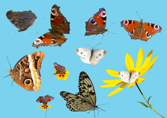 Collection of butterflies isolated (photography, natural conditions).