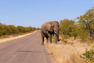 Elephant from Kruger National Park, Loxodonta africana