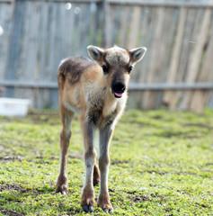 calf of a reindeer