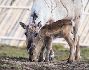 reindeer female and calf [Rangifer tarandus] .Norway.Tromso