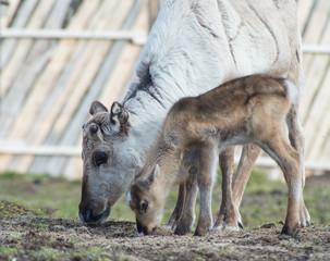 reindeer female and calf [Rangifer tarandus]
