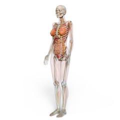 女性人体模型