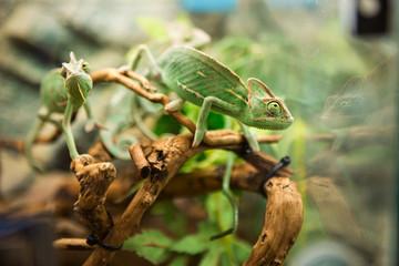 Green chameleons on branch