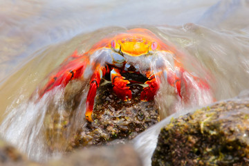 Sally lightfoot crab covered by wave on Chinese Hat island, Gala