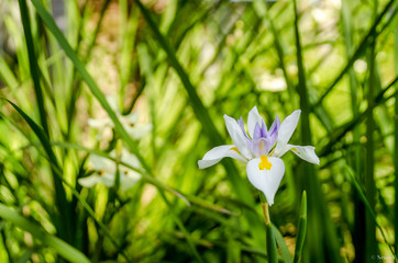 iris calédonienne