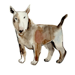 Bull terrier isolated on a white background, watercolor