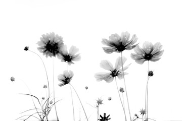 Double exposure soft focus and blurred cosmos flowers on white