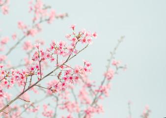 Soft focus Cherry Blossom or Sakura flower on nature background