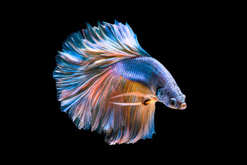 Capture the moving moment of white siamese fighting fish