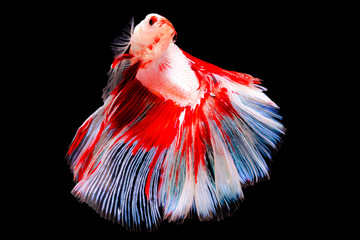 Siamese BetaFighting Fish