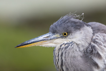 Wall Mural - Close up head shot of a great grey heron with green background.