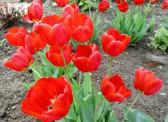 Цветы, красные, оранжевые, красочные тюльпаны в саду весной. Фото. Крупный план.
