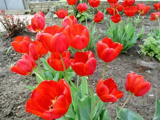 Цветы, красные, оранжевые красочные тюльпаны в саду весной. Фото.