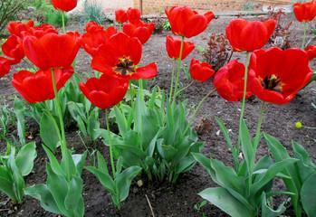 Цветы, красные, красочные тюльпаны цветущие саду весной. Фото.