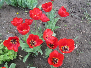 Цветы, красные, красочные тюльпаны в саду весной. Фото.