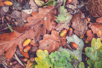 Old classic - Autumn scene with walnuts and dry leaves on the ground