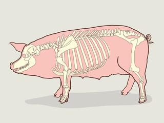 Pig Skeleton Vector Illustration. Pig Skeleton Anatomy. Pig Skeleton Model.