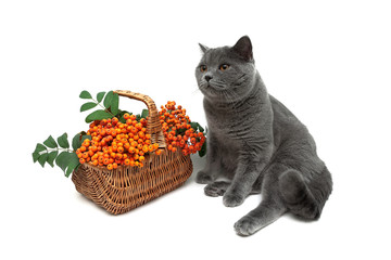 gray cat and a basket of red rowan on a white background