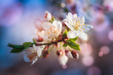 Blossoming of fruit tree during spring. View close-up of branch with white flowers and buds in bright colors. Soft focus and boken background.