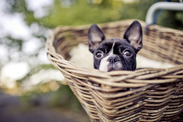 Young Boston Terrier riding in basket on Bicycle