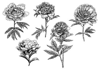 Engraved, vector peony illustrations.