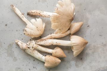 Termitomyces mushroom, termite mushroom