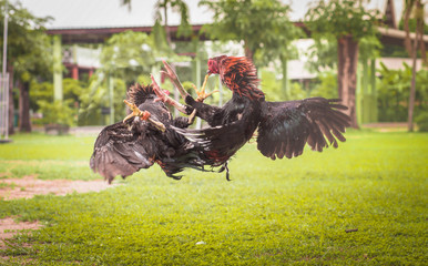 Gamecock, Fighting cock