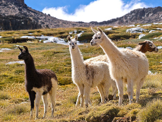 Lamas in den Hochanden
