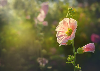 Beautiful Pink hollyhock blossom in the garden with vintage retro sun light color style, Althaea rosea flower