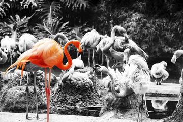 Pink Flamingo Amazingly beautiful plumage isolated on black and white background