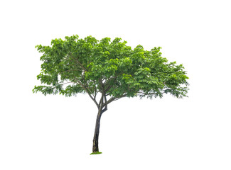 Real green tree isolated over white background