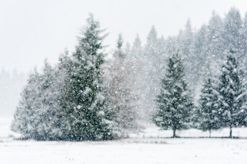 Snow falling heavily in an evergreen forest with focus on snowflakes creating a winter wonderland Wall mural