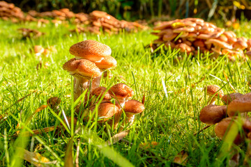 Mushrooms in my garden, Honey Fungus