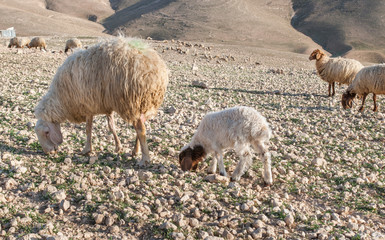 Image result for Photo sheep grazing in Israel