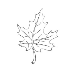 maple leaf scetch. vector