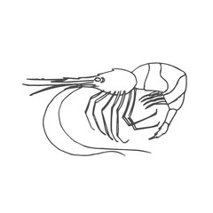 shrimp scetch. vector