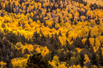 Forest of tall yellow Aspen trees