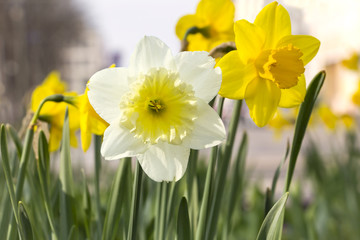 Blossoming daffodils and narcissus in an urban park.