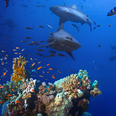 beautiful colorful coral reef and big dangerous agressive sharks