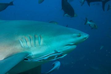Bull shark closeup in Pacific ocean underwater