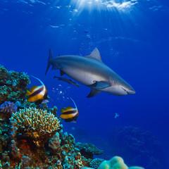colorful underwater ocean coral reef and big shark