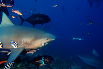 Pacific oceans bulkl shark at the Shark Reef