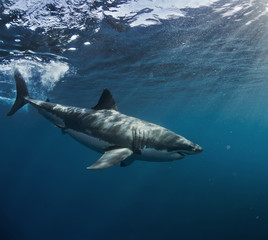 Great White Shark in blue ocean. Underwater photography. Predator hunting near water surface.